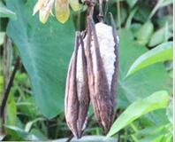 kapok fiber seedpod