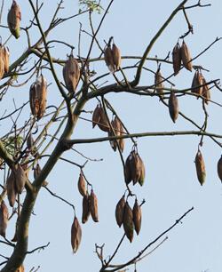 dried kapok tree